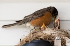 Robin-and-Chicks-3