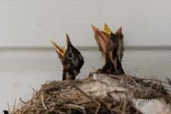 Robin-and-Chicks-5