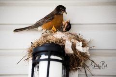 Robin-and-New-Born-Chicks