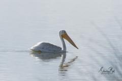 White-Pelican-Feeding-2