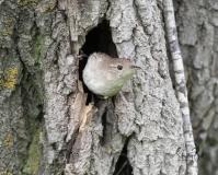Wren-in-Nest-3
