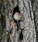 Wren-in-Nest