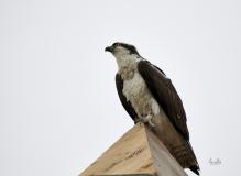 d8509845-Perching-Osprey-in-Fishcreek-Park