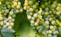 Grapes-on-the-vine-8500386