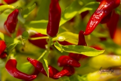 Red-Peppers-on-plant