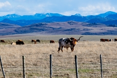 D8503082-Alberta-Cattle-Country