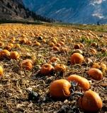 Pumpkin-Field-8500382
