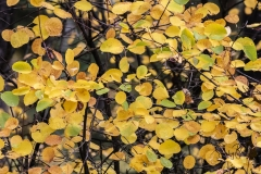 Autumn-Leaves-in-early-morning