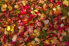 Autumn-Leaves-on-Lawn_