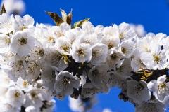 Beautiful-Apple-Blossoms-8500460