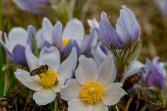 D8503431-Crocus-Flower-with-honey-bee-Calgary-Alberta