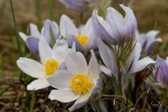 D8503439-Crocus-Flower_