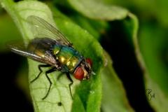 Housefly-Macro-2