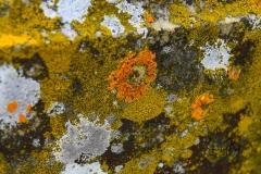 Lichen-on-Tombstone