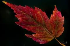 Manitoba-Maple-Leaf