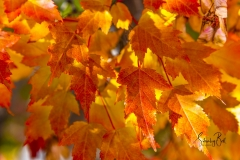Manitoba-Maple-Leaves-in-Autumn-Glory