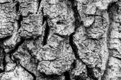 Poplar-bark-in-black-white