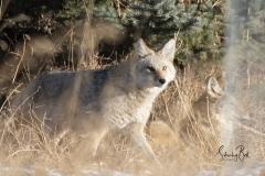 Coyotes-in-Carburn-Park