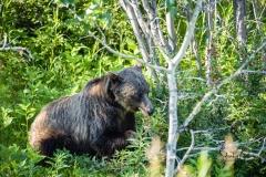 Grizzly-bear-in-Kananaskis-10