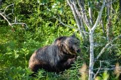Grizzly-bear-in-Kananaskis-7
