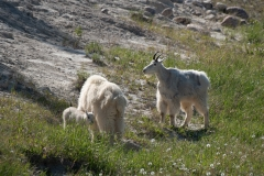 Rocky Mountain-Goat Ram, Female and new born