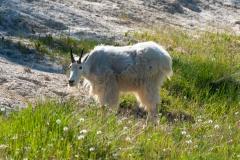 Rocky MountainGoat-Ram