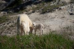 Mountain-Goat-baby
