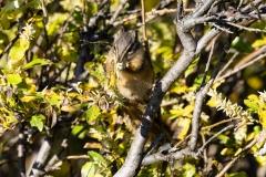 Red-Tailed-Chipmunk-Eating-2