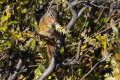 Red-Tailed-Chipmunk-Eating
