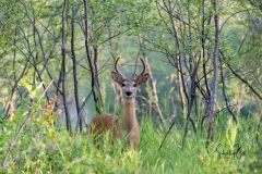 Whitetail-Buck-in-Carburn-Park-1-1