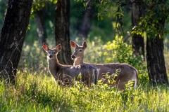 Whitetail-Deer_